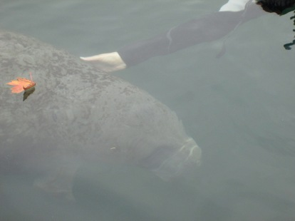 Some manatees really enjoy human interaction and will swim right up to the boat to be scratched!