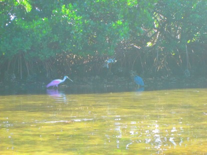 Spoonbill looking for shrimp